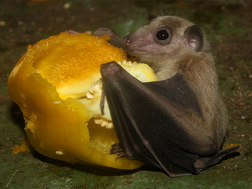 b12-fruit-bat